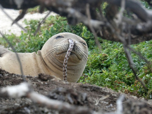 Seal with an eel in its nose