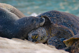 A green sea turtle and a Hawaiian monk seal rest on a beach