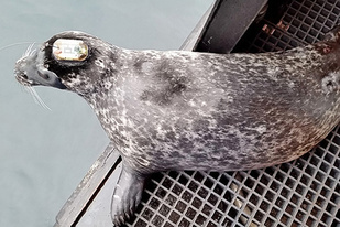A tagged harbor seal pauses at the exit before departing the R/V Norseman.