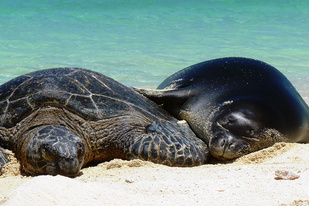 Hawaiian monk seal and green sea turtle sleeping on the beach sand.
