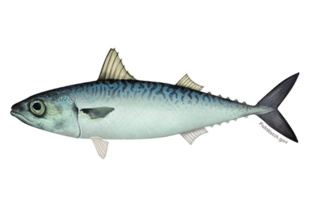 Pacific mackerel