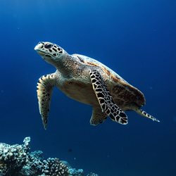 Sea turtle floating over coral reef.