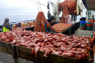 Large rockfish catch winched aboard the Sea Storm for processing by the science crew.
