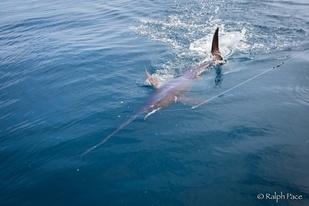 Swordfish being caught