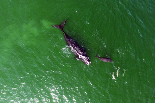 A North Atlantic right whale mom and calf.