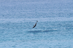 Dolphin spinning over waters.