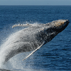 Humpback whale breaching. California, Monterey Bay.