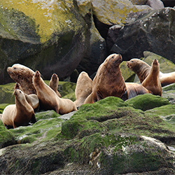 Group of Steller sea lions on rocks