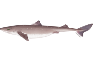 atlantic_spiny_dogfish_shark.png