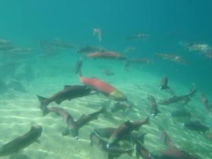 redfish lake sockeye salmon .jpg