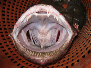 monkfish in basket with mouth wide open