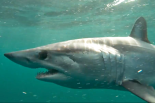 Shortfin-mako-side_750x500.png