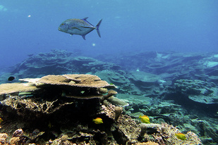A Bluefin trevally swims past table coral colonies at Johnston Atoll in the Pacific Remote Islands Marine National Monument.