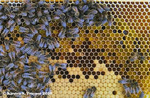 "Honey bees typically store incoming pollen in an arch above the brood nest—the honey bee nursery. The nurse bees consume the stored pollen called ""bee bread"" and convert the proteins into brood food. Image credit: Kirsten Traynor (click image to download hi-res version.)"