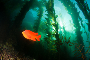 A garibaldi swims in a kelp forest.