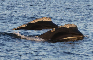 two right whales swimming