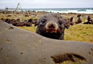 fur seal pup courtesy of Lorrie Rea, University of Alaska Fairbanks