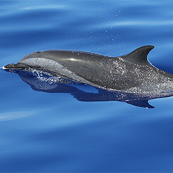 Pantropical spotted dolphin in Guam