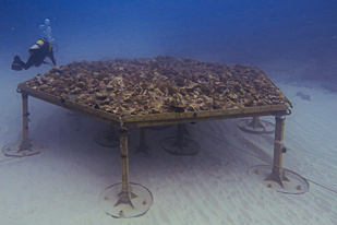 Coral nursery loaded with detached corals.