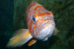 Close up of a canary rockfish