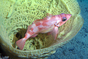 A pregnant sharpchin rockfish takes cover in a basket-shaped sponge.