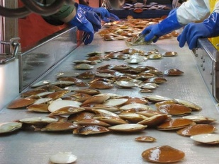 sea scallops on conveyor