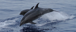 Pair of bottlenose dolphins (cow-calf pair) at sea jumping over the surface of the water.