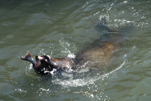 Sea lion eating salmon