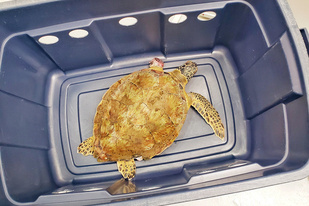 Sea turtle resting in a plastic bin after rescue. It's left flipper had been severed by the fishing line.