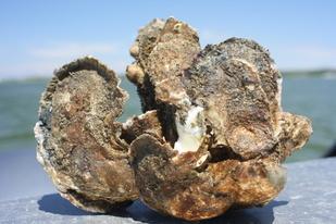 healthy Harris oysters.jpg