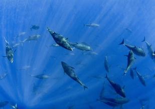 Bluefin tuna swimming together