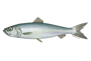 640x427-atlantic-herring.png
