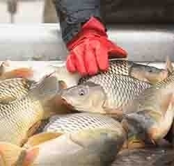 Wild-caught fish on ice being inspected by red gloved hand.