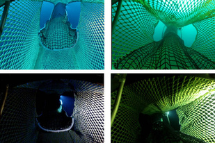 Gear modifications on midwater trawl nets allow Chinook salmon to escape.