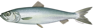 atlantic_herring.png