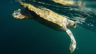 a loggerhead turtle  near the oceans surface viewed from underwater