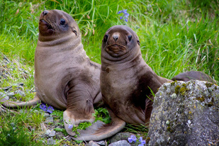 Steller sea lion, Steller Watch, NMFS ESA/MMPA Permit #18528, IUCUC number A/NW2013-2
