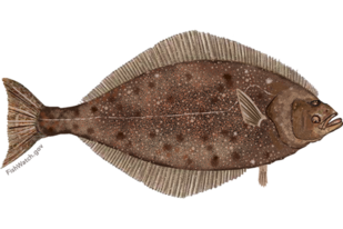 Illustration of Pacific halibut.