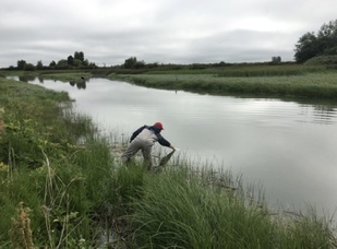 Scientist collects environmental DNA by dipping 1-liter bottles into the Skagit River and estuary.