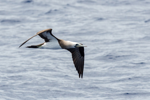 Brewster's brown booby in Saipan.