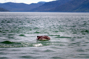 A Harbor Porpoise off the Coast of Alaska
