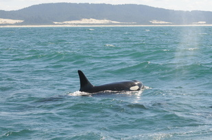 Southern Resident killer whale swimming off of the west coast line.