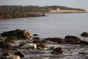750x500harbor-seal-pup-on-shore-MMoME-credit.jpg