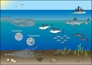 Diagram showing a fishery ecosystem from the base of the food web to fish to humans.