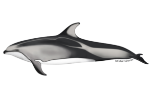 640x427-pacific-white-sided-dolphin.png