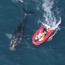 Entanglement team approaching a young North Atlantic right that was disentangled in 2011 off the coast of Cape Canaveral, FL.