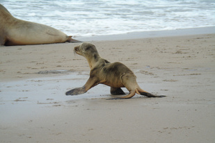 Underweight sea lion pup on the beach.