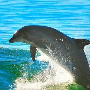 Dolphin leaping in waves.