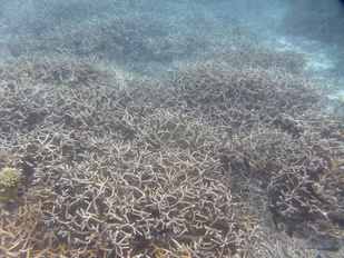 Bleaching of Acropora on the east side of Savai'i. Notice the bleaching of the branch tips.