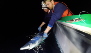 Melanie Hutchinson and Mark Royer tag a blue shark with a satellite pop-up archival tag